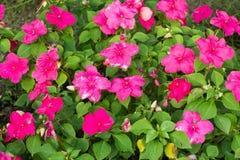 De roze Bloemen van de Petunia Royalty-vrije Stock Foto