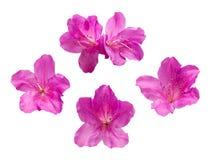 De roze bloemen van de Rododendron royalty-vrije stock afbeelding