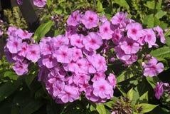 De roze bloemen van Floxpaniculata Stock Afbeelding