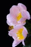 De roze bloemen van hond-namen toe royalty-vrije stock afbeeldingen