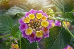 De roze bloemen van lantanacamara De reeks van de zomerbloemen, mooie Lantana-camara stock afbeelding