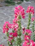 De roze bloemen van leeuwebekmajus stock foto's