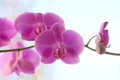 De roze bloemen van orchideephalaenopsis Royalty-vrije Stock Afbeelding