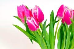 De roze bloemen van Tulpen royalty-vrije stock afbeelding