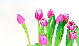 De roze bloemen van Tulpen royalty-vrije stock foto's