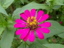 De roze bloemen van Zinnia op groen doorbladert achtergrond stock foto