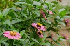 De roze bloemgroei in tuin Royalty-vrije Stock Afbeelding