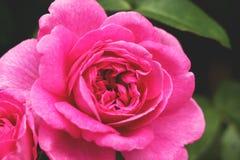 DE ROZE BLOEMlente BLOEMEN Royalty-vrije Stock Foto