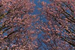 De roze bloesem onder een duidelijke blauwe hemel, die de lente tonen komt royalty-vrije stock afbeeldingen