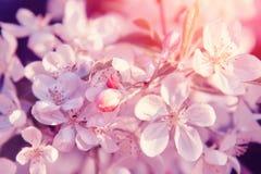 De roze bloesem van Bloemen Achtergrond van de aard de mooie bloemenpastelkleur royalty-vrije stock afbeelding