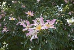 De roze bloesem van Ceibaspeciosa stock afbeelding