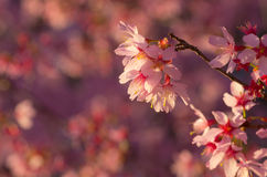 De roze bloesem van de kersenbloem Stock Afbeelding