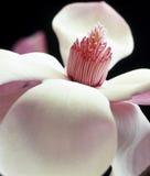 De roze bloesem van de Magnolia stock foto's