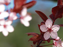 De roze Bloesem van de Pruim Royalty-vrije Stock Afbeeldingen