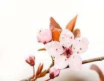 De roze Bloesem van de Pruim Royalty-vrije Stock Foto's