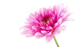 De roze bloesem van het gerberamadeliefje Stock Afbeelding