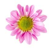 De roze bloesem van het gerberamadeliefje Royalty-vrije Stock Foto's