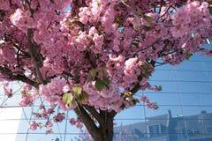 De roze bloesem van de kersenboom in de stad Stock Afbeelding