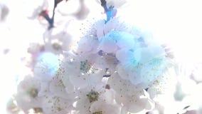 De roze Bloesem van de Perzikbloem in Zonstralen stock footage