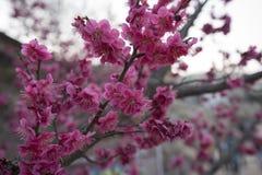 De roze Bloesem van de Pruim Stock Foto's