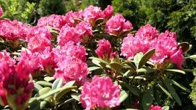 De roze bloesem van de rododendronstruik in de lente bijen die van flowerhead aan flowerhead vliegen stock video