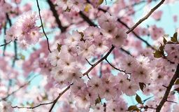 De roze bloesems die van de de lentekers tijdens een heldere dag bloeien Royalty-vrije Stock Foto's