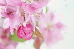 De roze Bloesems van de de Lenteboom royalty-vrije stock afbeeldingen