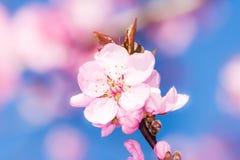 De roze Bloesems van de Perzik Stock Foto