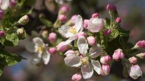 De roze bomen van de bloemen bloeiende appel stock footage