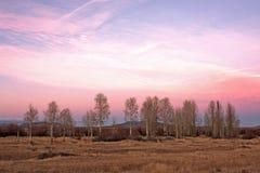 De roze Bomen van de Esp van de Zonsondergang Stock Afbeelding