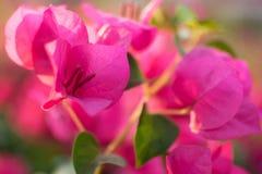 De roze bougainvillea baden het zonlicht Stock Afbeelding