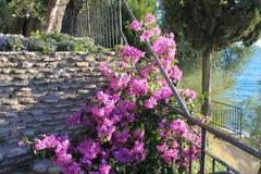 De roze bougainvillea van Bush onder de zon stock fotografie