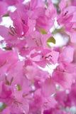 De roze bougainvillea van het zonlicht royalty-vrije stock afbeelding