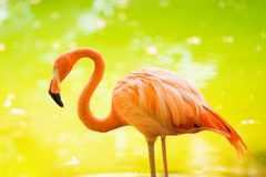 De roze Caraïbische flamingo gaat op water De roze flamingo gaat op een moeras Royalty-vrije Stock Afbeelding