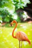 De roze Caraïbische flamingo gaat op water De roze flamingo gaat op een moeras Royalty-vrije Stock Foto's
