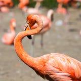 De roze Caraïbische flamingo (Phoenicopterus ruber ruber) gaat op water De roze flamingo gaat op een moeras Royalty-vrije Stock Foto's