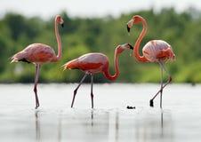 De roze Caraïbische flamingo gaat op water. Stock Afbeeldingen