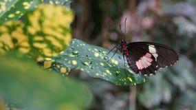 De roze Cattleheart-Vlinder van Vlindertransandean Cattleheart Royalty-vrije Stock Fotografie
