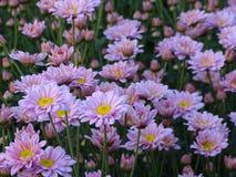 De roze chrysant heeft geel die stuifmeel samen als groep bloemen wordt geplant stock fotografie