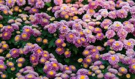 De roze chrysant is niet volledig bloeiend Stock Foto's