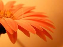 De roze Close-up van Gerbera Daisy Petals Peach Background Macro inspireert Royalty-vrije Stock Fotografie
