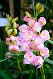 De roze close-up van Orchideecymbidium Het fokken van orchideeën in tuin Royalty-vrije Stock Foto
