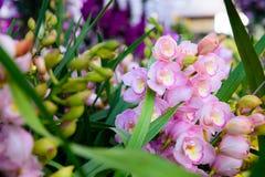 De roze close-up van Orchideecymbidium Het fokken van orchideeën in tuin Royalty-vrije Stock Fotografie