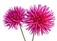 De roze dahlia van het neon Stock Afbeelding