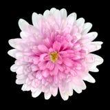 De roze die bloemblaadjes van Dahlia Flower op Zwarte worden geïsoleerd Royalty-vrije Stock Fotografie
