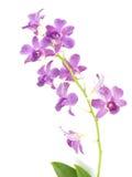 De roze die knop van de orchideebloem op witte achtergrond wordt geïsoleerd Stock Foto's