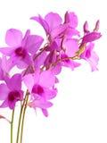 De roze die knop van de orchideebloem op witte achtergrond wordt geïsoleerd Royalty-vrije Stock Foto
