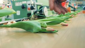 De roze die tulpen worden op de mechanische vervoerder worden geworpen stock footage