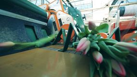 De roze die tulpen worden op de vervoerder zijn gedaald Geautomatiseerde machines voor bloemenproductie stock videobeelden
