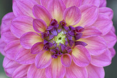 De roze en gele macro van de dahliabloem Royalty-vrije Stock Foto